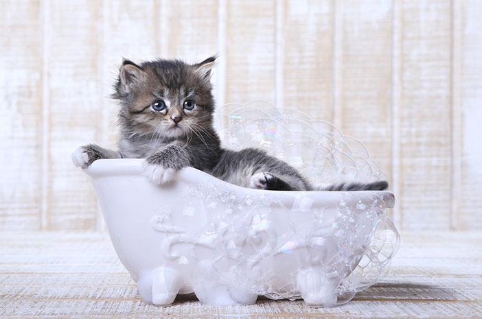 Begini Cara Tepat Memandikan Anak Kucing Peliharaan