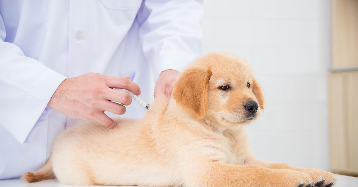 Kapan Waktu Terbaik untuk Memberikan Vaksin pada Anjing?
