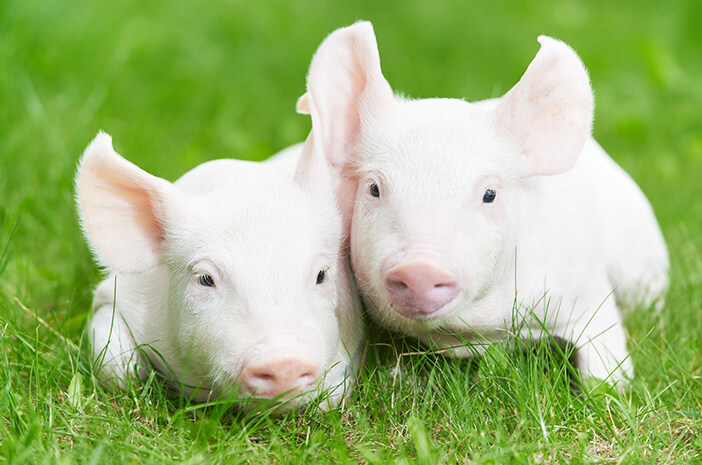 wabah flu babi Afrika