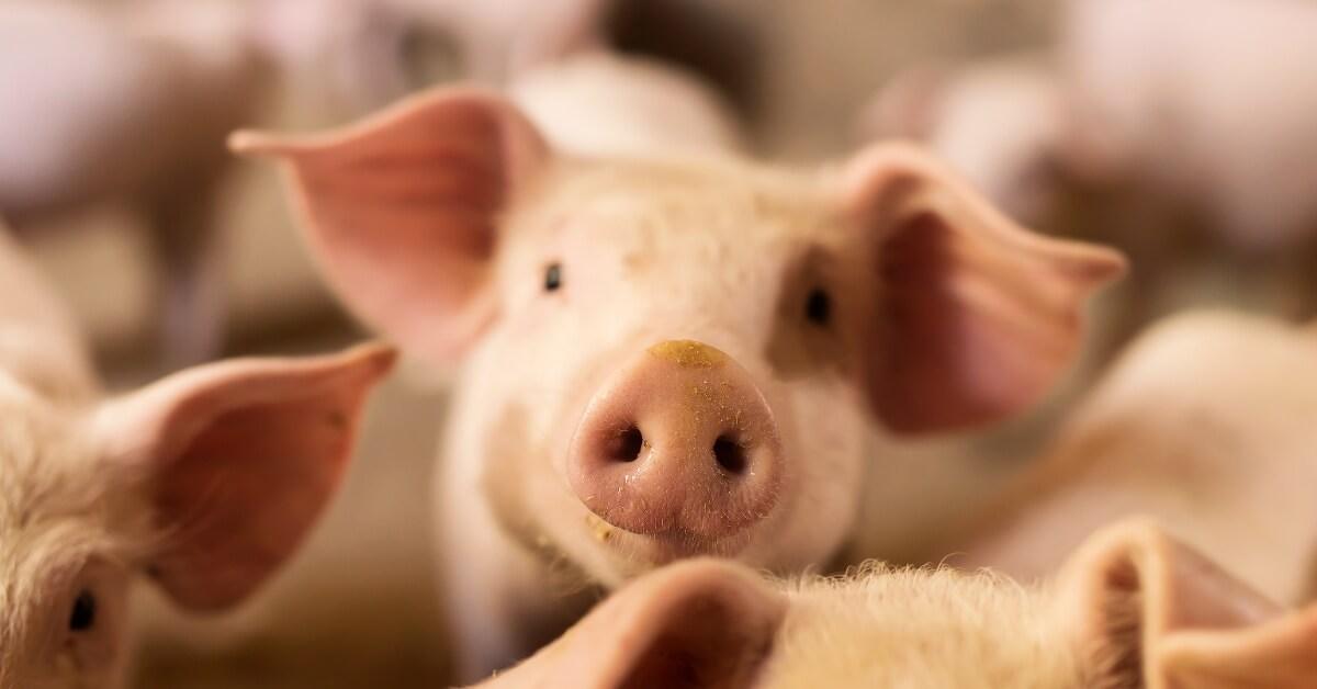 ribuan-babi-terjangkau-kolera-amankah-dikonsumsi-halodoc