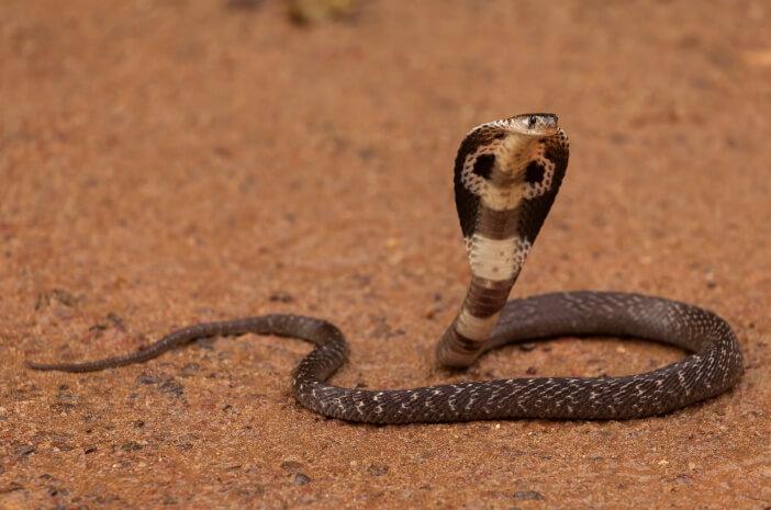 Ular Kobra Muncul Di Musim Hujan Begini Cara Menghadapinya