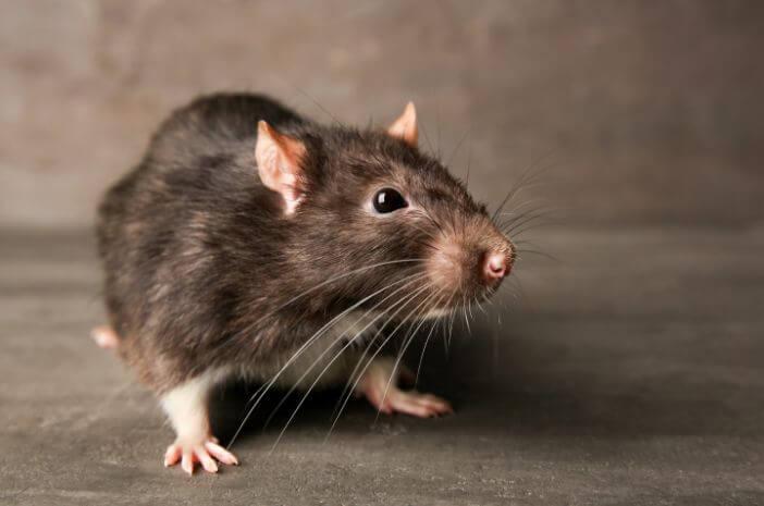 Waspadai 5 Penyakit yang Disebabkan oleh Tikus